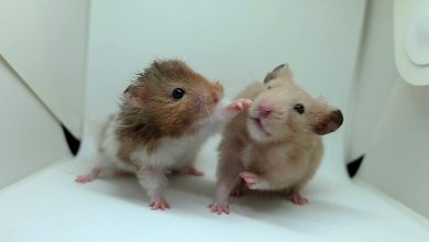 Photo of Why Are Roborovski Hamsters Fighting?
