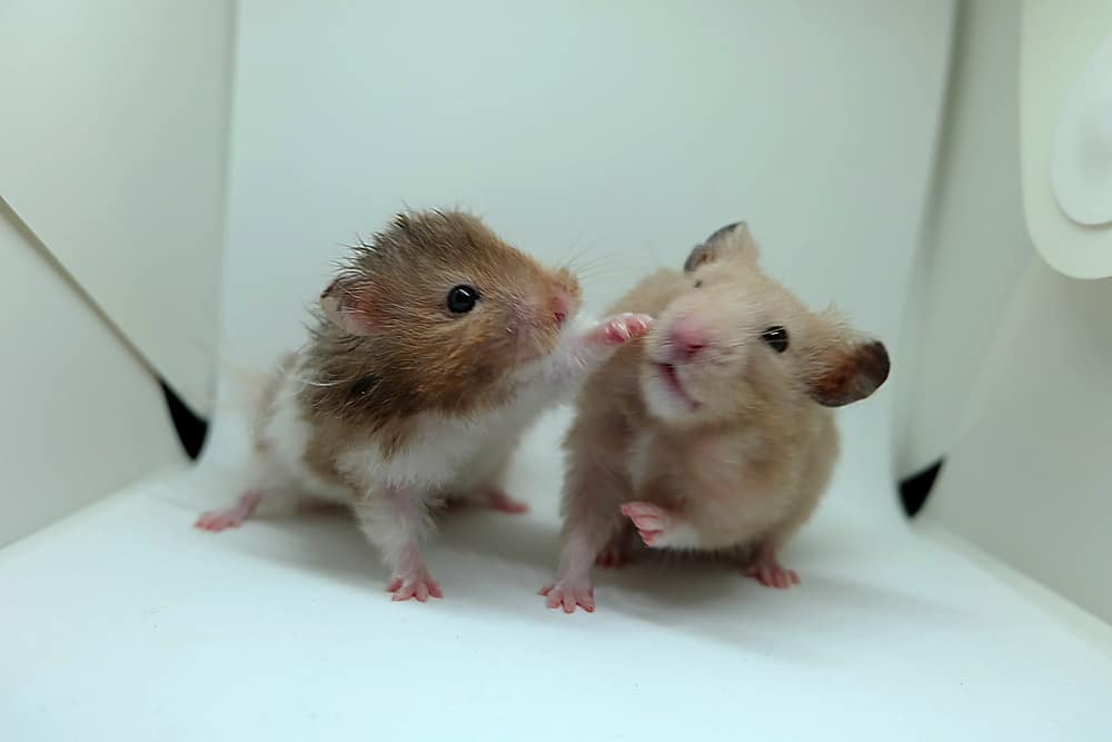 Why Are Roborovski Hamsters Fighting?