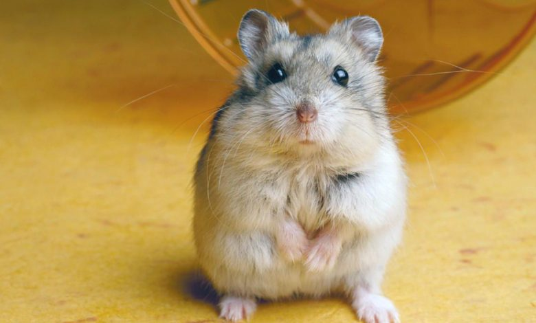 Why is my hamster dragging his back legs?
