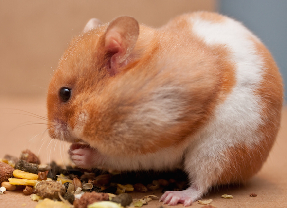 Average Cost of Buying and Owning a Hamster