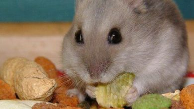 Photo of Can Hamsters Eat Avocado Seeds?
