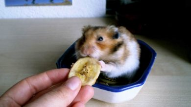 Photo of Can Hamsters Eat Dried Banana?