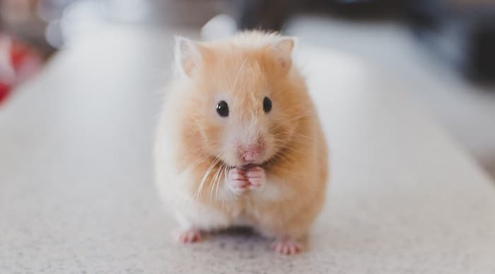 Can Hamsters Eat Dried Pineapple?