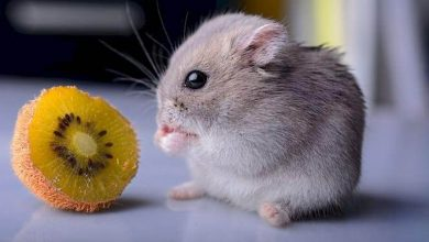 Photo of Can Hamsters Eat the Skin of Kiwi Fruit?