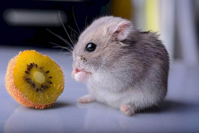 Can Hamsters Eat the Skin of Kiwi Fruit?