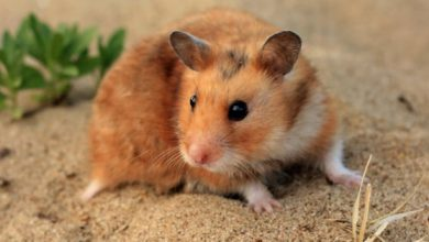 Photo of How Long Can Hamsters Go Without Food and Water?