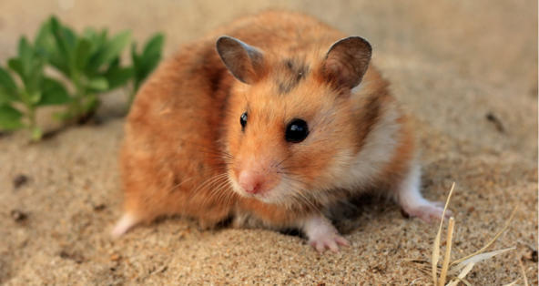 How Long Can Hamsters Go Without Food and Water?