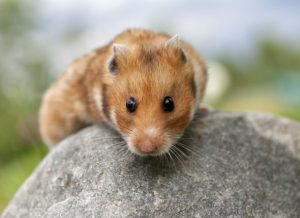How do you treat sticky eyes in hamsters?