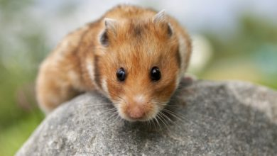 Photo of How do you treat sticky eyes in hamsters?
