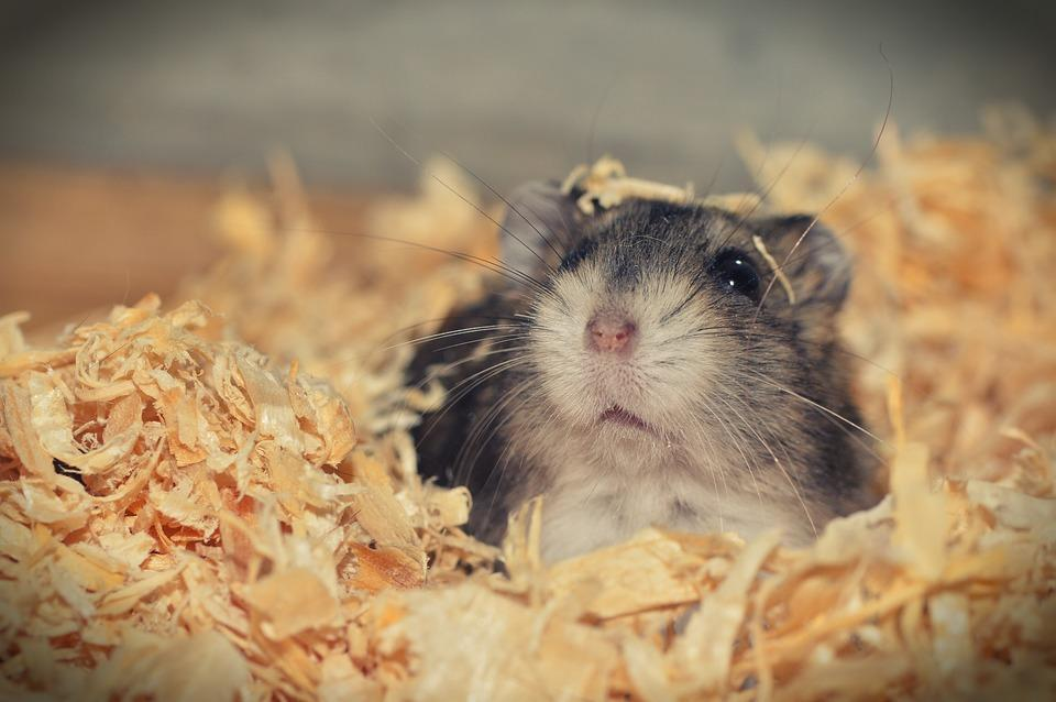 How to Get Rid of Fleas on Hamsters?