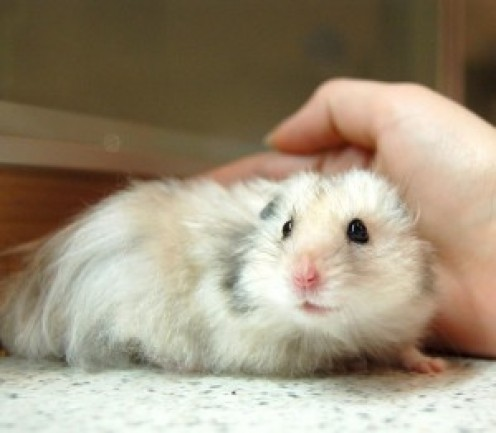 What Causes Rectal Prolapse in Hamsters?
