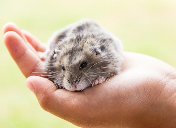 How to Treat Ringworm in Hamsters?