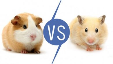 Photo of Are Hamsters and Guinea Pigs the Same?