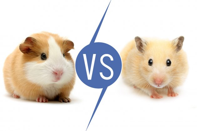 Are Hamsters and Guinea Pigs the Same?