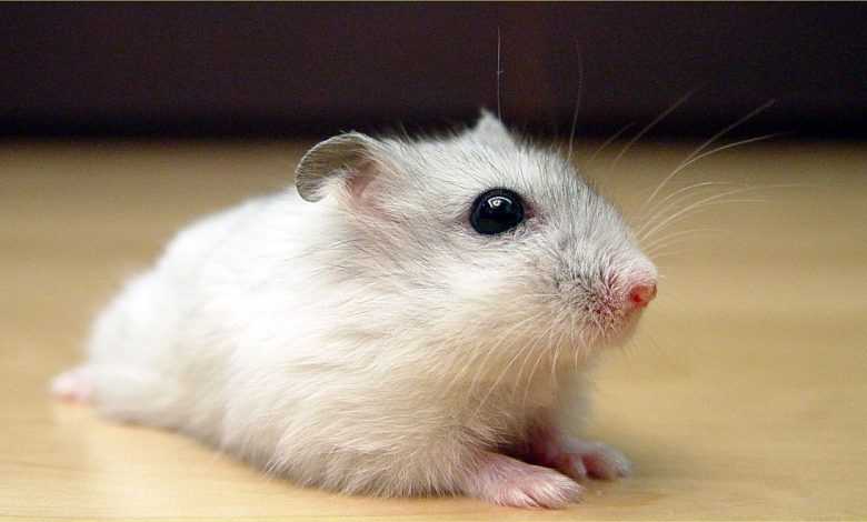 Can Hamsters Eat Cantaloupe Seeds?