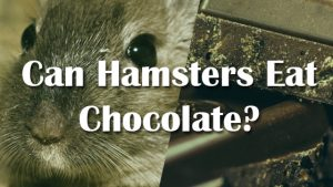 Can Hamsters Eat Chocolate Cake