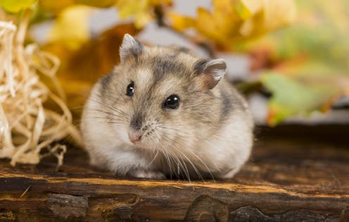 Can Hamsters Eat Dried Mealworms
