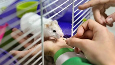 Photo of Can Hamsters Eat Live Crickets?