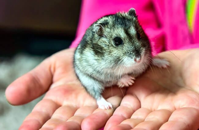 Do Dwarf Hamsters Fur Change Color?