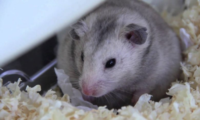 Do Hamsters Make Noise at Night?