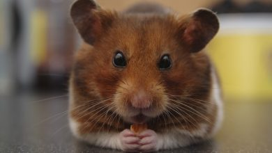Photo of How Long do Dwarf Hamsters Live as Pets?