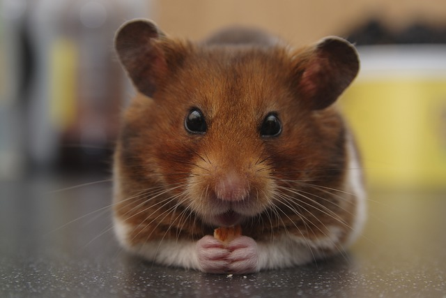 How Long do Dwarf Hamsters Live as Pets