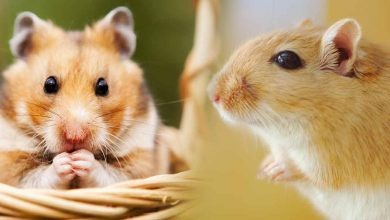 Photo of How are Hamsters different from Rats?