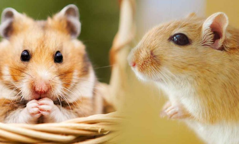 How are Hamsters different from Rats?