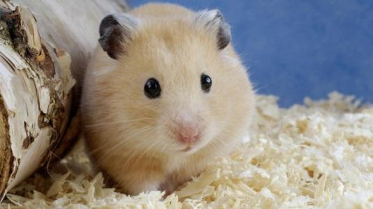 How often does a hamster poop