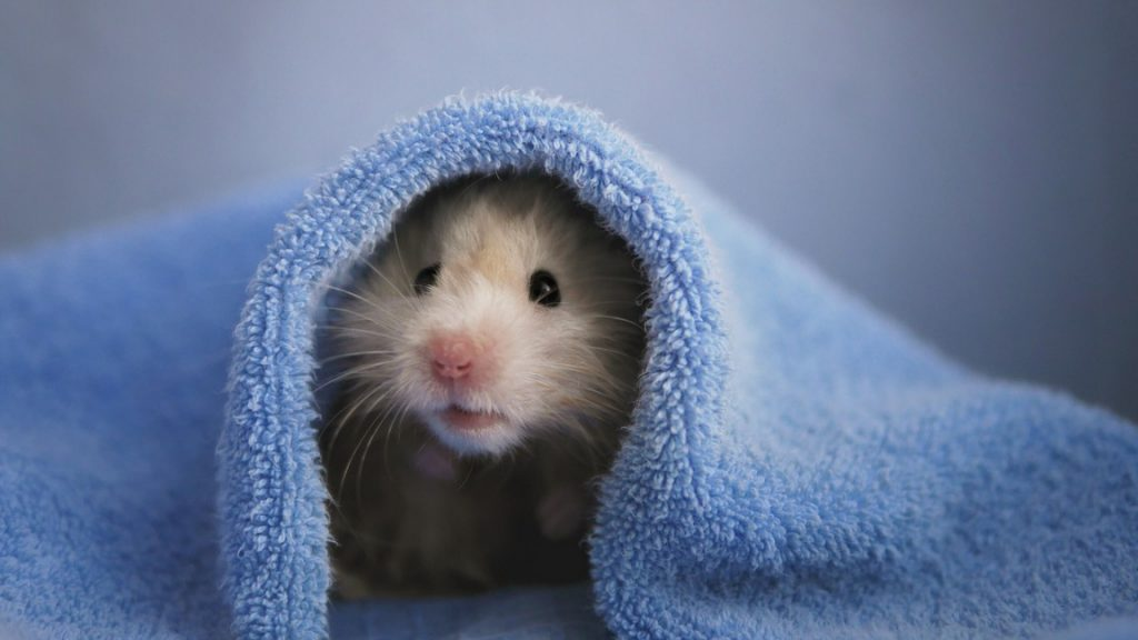 What to do if a hamster bites you?