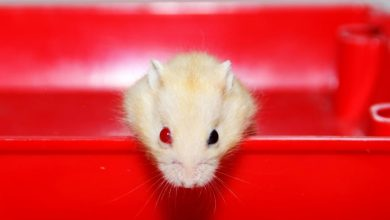 Photo of Why do Hamsters Have Red Eyes?