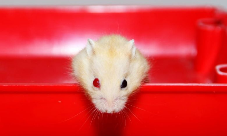 Why do Hamsters Have Red Eyes?