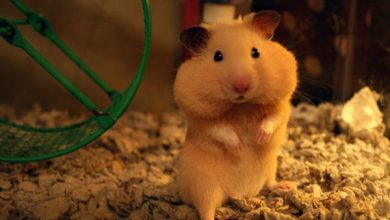 Photo of Why do Hamsters Store Food in their Cheeks?