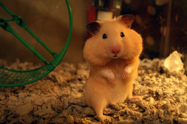 Why do Hamsters Store Food in their Cheeks