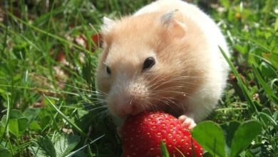 Photo of Can Hamsters Eat Raspberry Leaves?