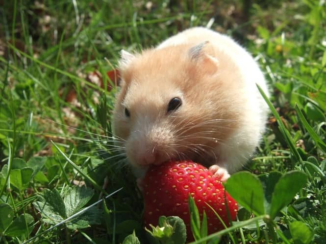 Can Hamsters Eat Raspberry Leaves?